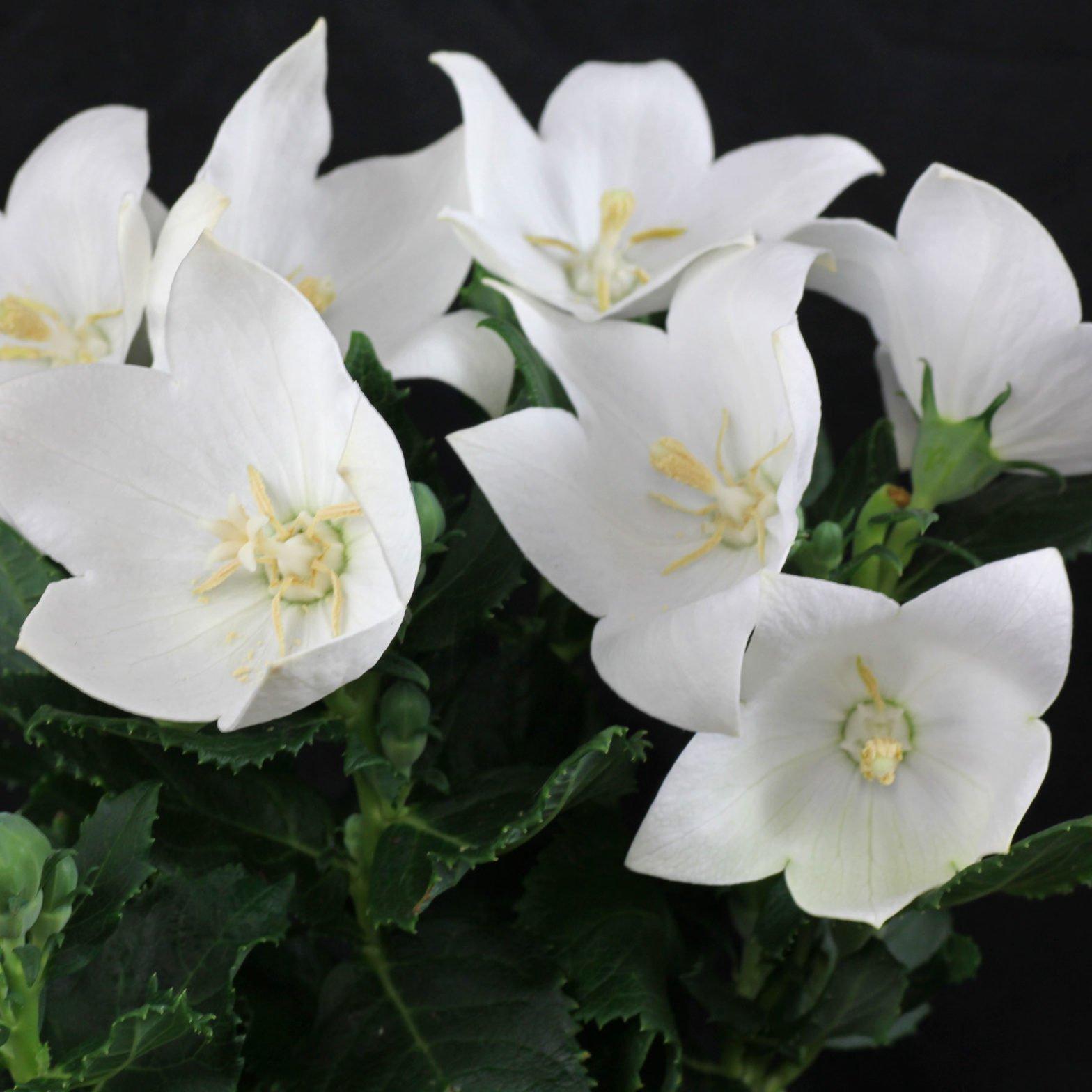 Platycodon grandiflorus Astra White