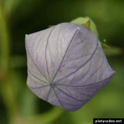 balloon flower fuji blue