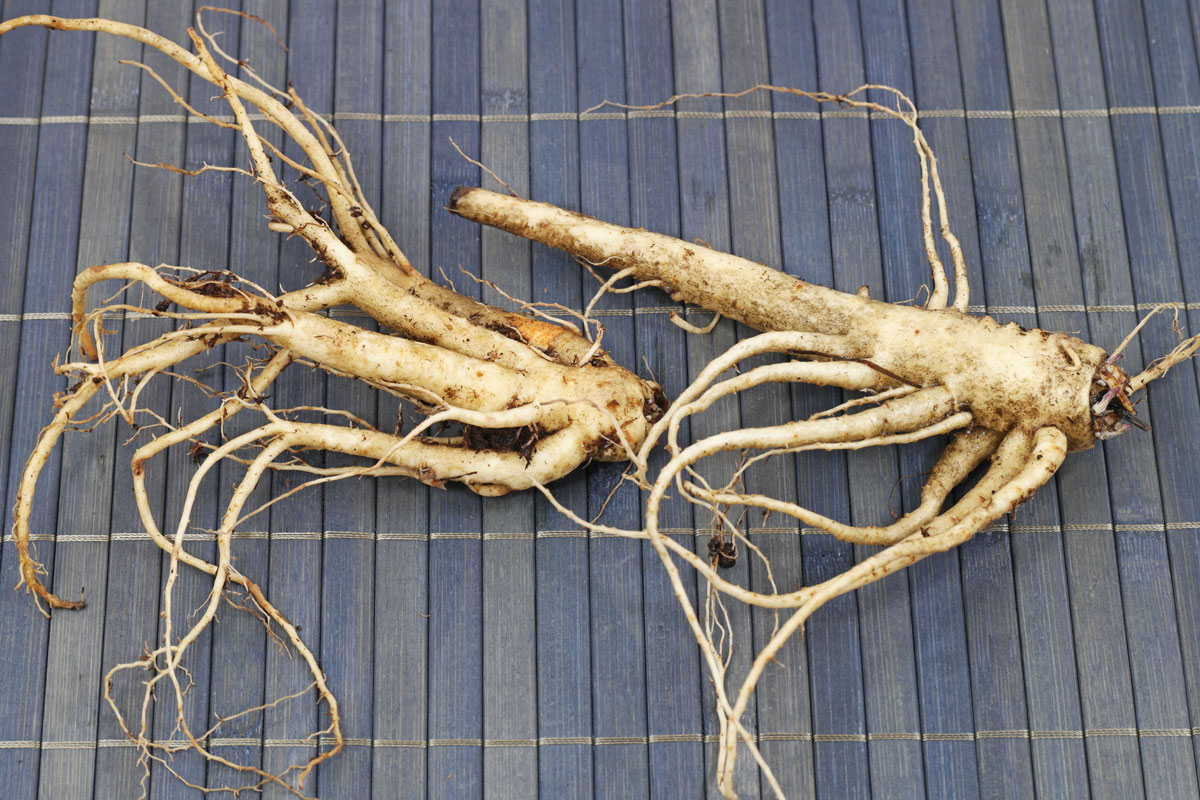 Balloon Flower Roots