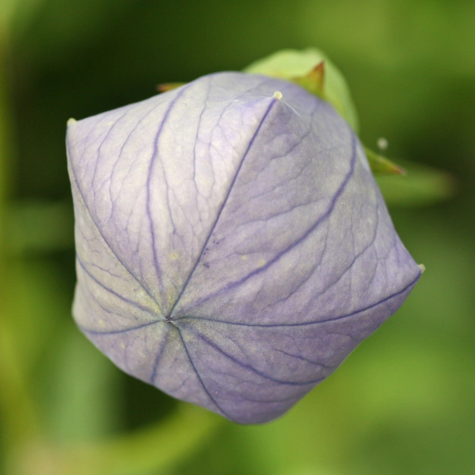 Platycodon flower bud