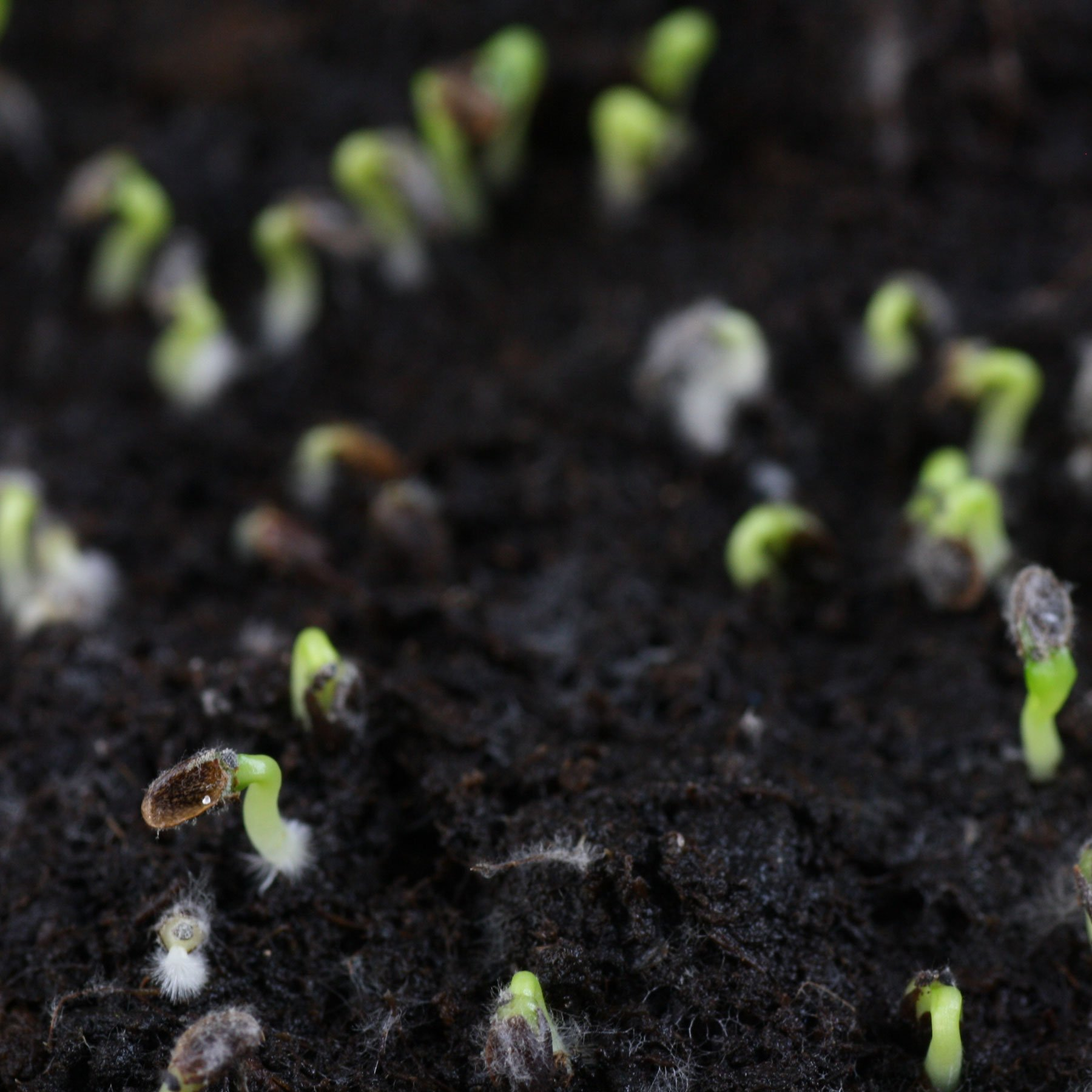 Platycodon germination
