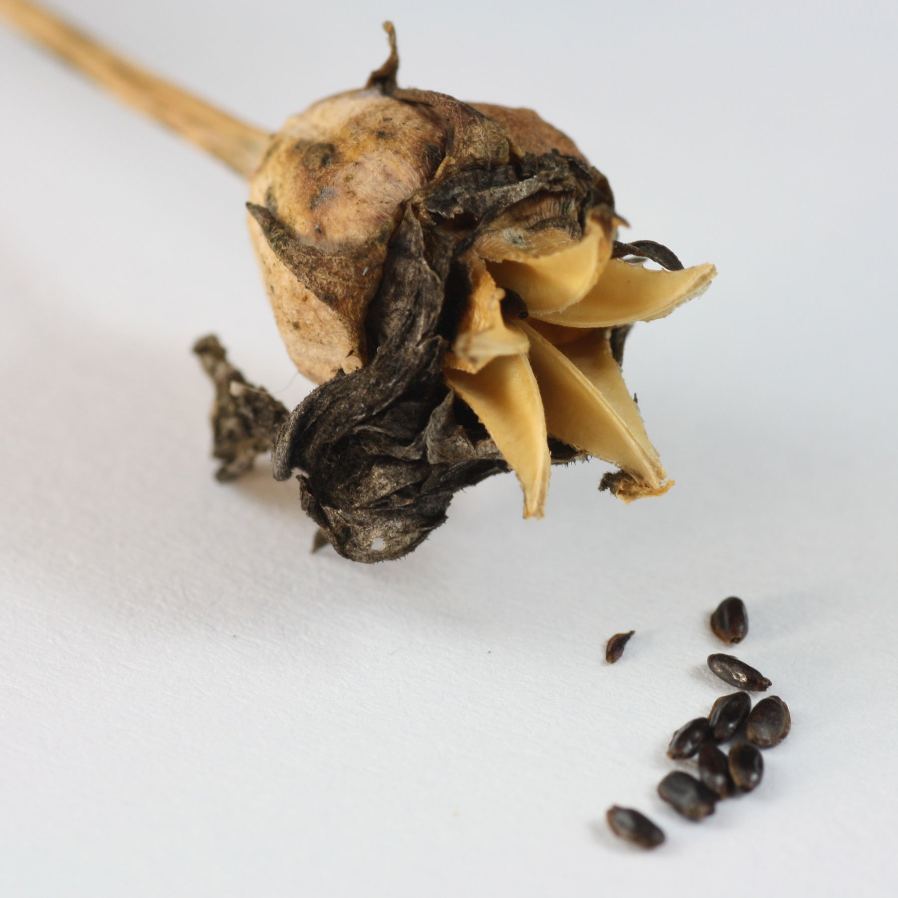 Platycodon seeds